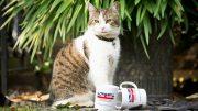 Foto av katten Larry som bor i 10 Downing Street