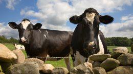 Kyr bønder brexit foto